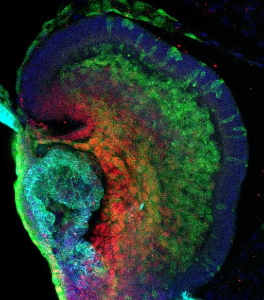 E8.5 mouse embryo
